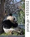 旦旦 タンタン 動物の写真 6350302
