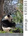 旦旦 タンタン ジャイアントパンダの写真 6350303