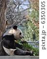旦旦 タンタン 動物の写真 6350305