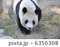 旦旦 タンタン 動物の写真 6350308