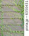 ツタ つた 葉の写真 6350431