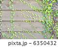 ツタ つた 葉の写真 6350432
