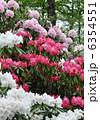 石南花 石楠花 シャクナゲの写真 6354551