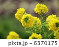 菜花 ナバナ 花の写真 6370175