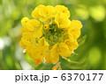 菜花 花菜 ナバナの写真 6370177