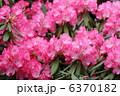 シャクナゲ 石楠花 花の写真 6370182