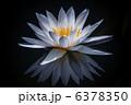 Nymphaeaceae 6378350