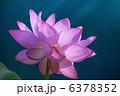 Nelumbo nucifera 6378352