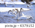 ハクチョウ 渡り鳥 白鳥の写真 6379152