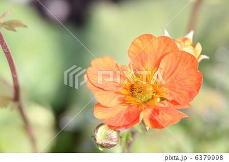 ゲラニウム オレンジホビット 6379998