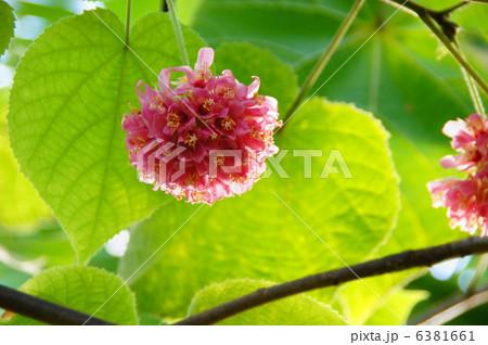 1月 熱帯植物 ドンベア・ウォリッキー・アオギリ科02 6381661