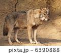 ウルフ タイリクオオカミ 陸上の動物の写真 6390888