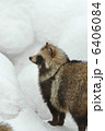 タヌキ エゾタヌキ たぬきの写真 6406084