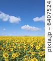 ヒマワリ畑 ひまわり ヒマワリの写真 6407524