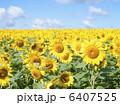 ヒマワリ畑 ひまわり ヒマワリの写真 6407525