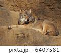 ヨーロッパオオカミ オオカミ タイリクオオカミの写真 6407581