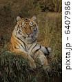 肉食動物 陸の動物 アムールトラの写真 6407986