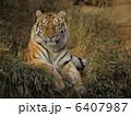 肉食動物 陸の動物 アムールトラの写真 6407987