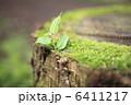 切り株の苔とケヤキの新芽 6411217