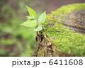 切り株の苔とケヤキの新芽 6411608