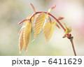 ケヤキの芽吹き 6411629