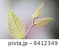 ケヤキの新芽 6412349