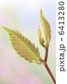 ケヤキの新芽 6413280