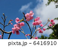 ヒカンザクラ 緋寒桜 かんひざくらの写真 6416910