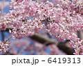 ベニシダレ 紅枝垂れ 枝垂れ桜の写真 6419313