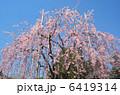 ベニシダレ 浅草寺枝垂れ桜 紅枝垂れの写真 6419314