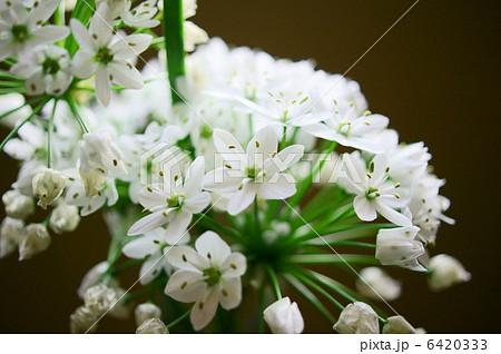 アリウム・コワニー 花言葉:正しい主張 Allium neapolitanum 6420333