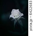 White rose 6422683