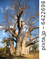 お化けの木 バオバブの木 バオバブの写真 6422698