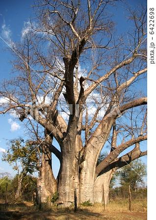 バオバブの木 6422698