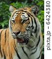 陸の動物 アムールトラ 動物の写真 6424380