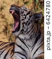 アムールトラ 陸の動物 動物の写真 6424780