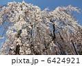 櫻 さくら しだれ桜の写真 6424921