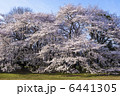 桜 6441305