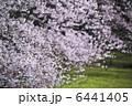 桜 6441405