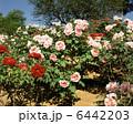 牡丹 お花 東松山ぼたん公園の写真 6442203