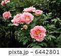 ぼたん(花競) 6442801