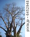 巨樹 大樹 バオバブの木の写真 6452948