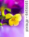 三色菫 ヴィオラ 花の写真 6456085