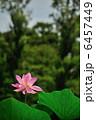 夏の日差しに輝く蓮の花 6457449