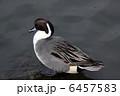 オナガガモ 鴨 カモの写真 6457583