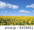 ヒマワリ畑 ひまわり ヒマワリの写真 6458661