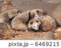 タヌキ 陸上動物 動物の写真 6469215