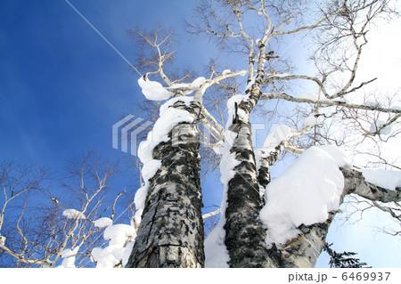 白樺と雪 6469937