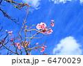 カンヒザクラ 寒緋桜 ヒカンザクラの写真 6470029