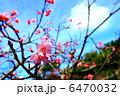 カンヒザクラ 寒緋桜 ヒカンザクラの写真 6470032